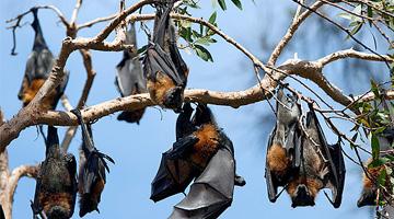 Australian feral management Bats