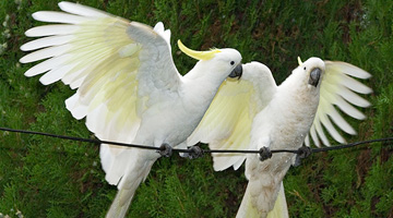 Cockatoo Control