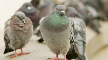 Australian feral management Pigeons