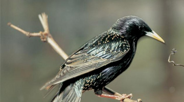 Australian feral management Starlings