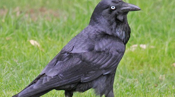 Crow and Raven control