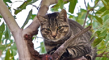 Australian feral management Feral Cat Control