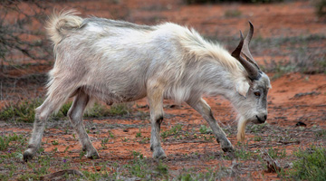 Feral Goat Control