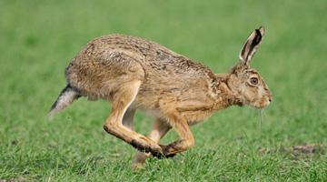 Feral Hare control